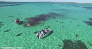 70 squali tigre divorano una balena in Shark Bay