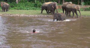 L'elefante si tuffa in acqua per salvare il suo istruttore